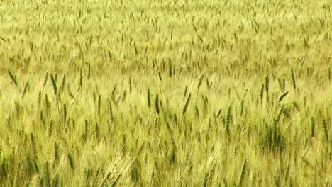 A-wheat-field-waves-in-the-breeze-1
