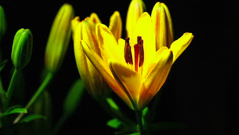 A-yellow-flower-opens-in-time-lapse-1