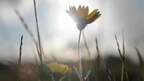 Una-Pequeña-Flor-Silvestre-Y-Los-Pastos-Circundantes-Son-Sacudidos-Por-Ráfagas-De-Viento