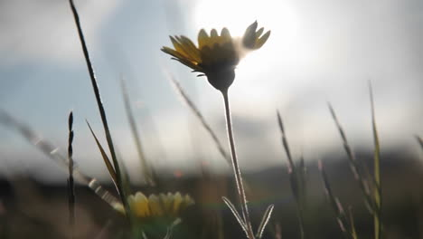 Dandelions-are-blown-around-in-the-wind