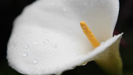 The-inside-detail-of-a-calla-lily-comes-into-view