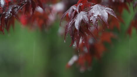 Raindrops-fall-onto-the-leaves-of-a-tree