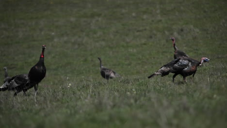 A-flock-of-turkeys-walk-around-in-a-field