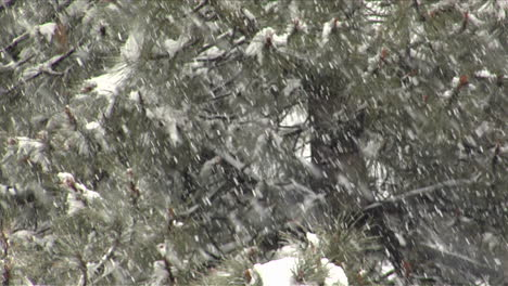 Snow-falls-amidst-pine-branches