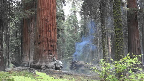 Mist-in-a-redwood-forest