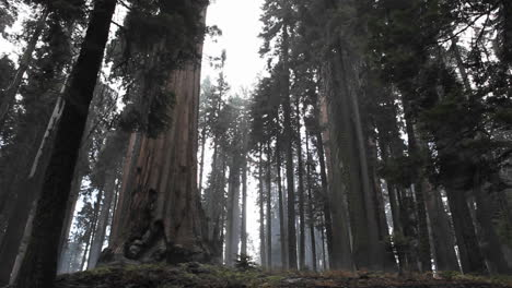 A-redwood-forest