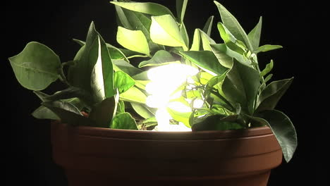 A-compact-fluorescent-light-bulb-illuminates-a-potted-plant