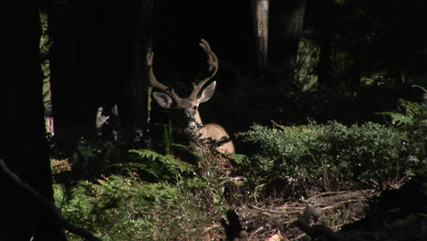 A-deer-walks-in-the-woods