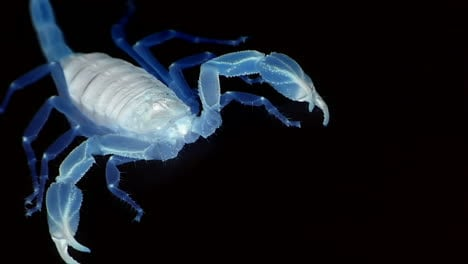 A-blue-translucent-scorpion-stands-poised-and-marches-out-of-view