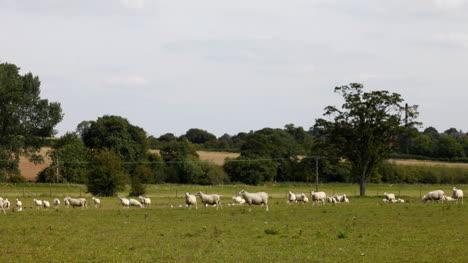 Sheep-00
