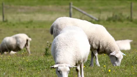 Sheep-04