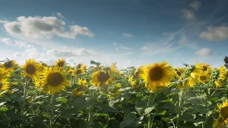 Sunflower-Field-00