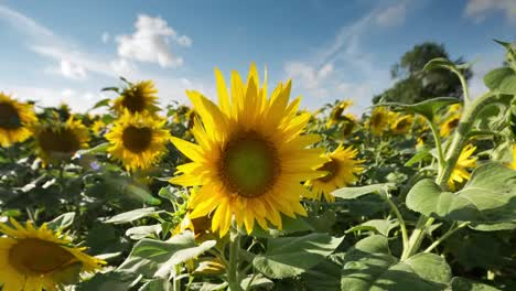 Sunflower-Field-06