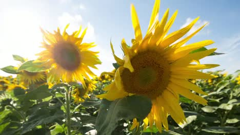 Sunflower-Field-09