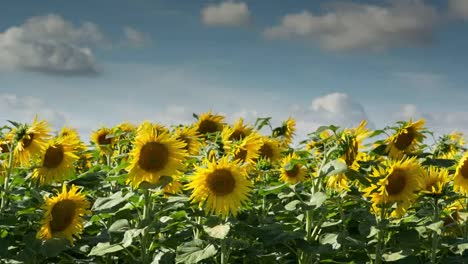 Sunflower-Field-10