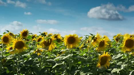 Sunflower-Field-11