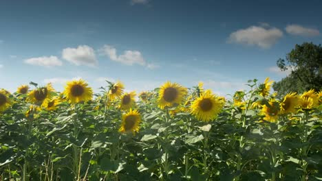Sunflower-Field-12