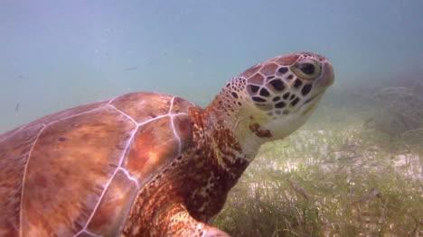 Turtle-36