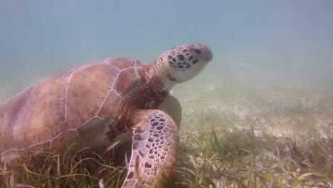 Turtle-37
