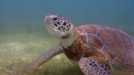 Turtle-52