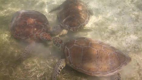 Turtle-55