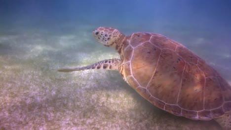 Turtle-69