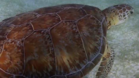 Turtle-71