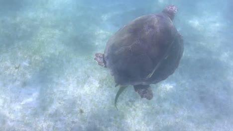 Turtle-73
