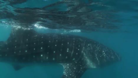 Whale-Shark-00