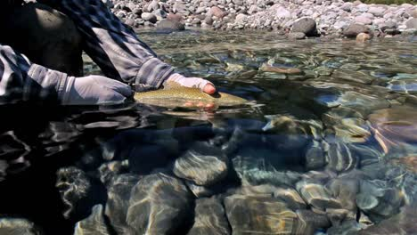 Guide-catch-and-releasing-a-rainbow-trout-while-fly-fishing-on-the-Huequi-River-in-Southern-Chile