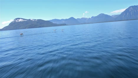 Point-of-view-from-a-zodiac-moving-fast-across-the-water-as-pelicans-flying-across-the-bow-near-in-Southern-Chile