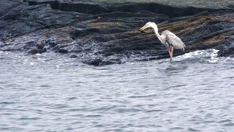 Great-Blue-Heron-Comiendo-Una-Iguana-Marina-En-La-Isla-Fernandina-En-El-Parque-Nacional-Galápagos-Y-La-Reserva-Marina-De-Ecuador