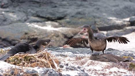 A-pair-of-Galapagos-flightless-cormorant-quarreling-at-Punta-Espinoza-on-Fernandina-Island-in-the-Galapagos-Islands