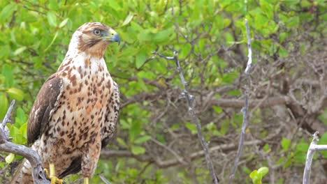 Endemic-Galapagos-hawk-staring-at-Playa-Espumilla-on-Santiago-Island-in-the-Galapagos-Islands-National-Park