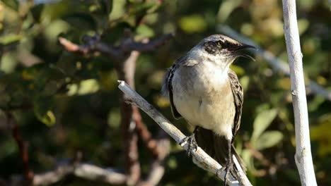 Capucha-Endémica-Mockingbird-Mostrando-En-Punta-Suárez-En-La-Isla-Española-En-El-Parque-Nacional-De-Las-Islas-Galápagos