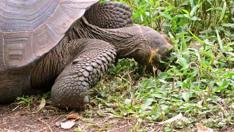 Close-up-of-an-endemic-Galapagos-Giant-Tortoise-eating-at-Rancho-El-Manzanillo-giant-tortoise-area-on-Santa-Cruz-Island-