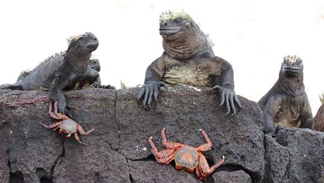 Marine-iguana-and-Sally-Lightfoot-Crab-at-Punta-Espinoza-on-Fernandina-Island-in-the-Galapagos-Islands-National-Park