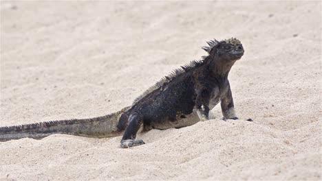 Iguana-Marina-En-La-Playa-De-Punta-Espinoza-En-La-Isla-Fernandina-En-El-Parque-Nacional-De-Las-Islas-Galápagos