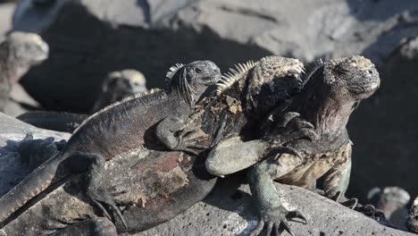 Iguanas-Marinas-Resoplando-En-Punta-Suárez-En-Espanola-En-El-Parque-Nacional-De-Las-Islas-Galápagos