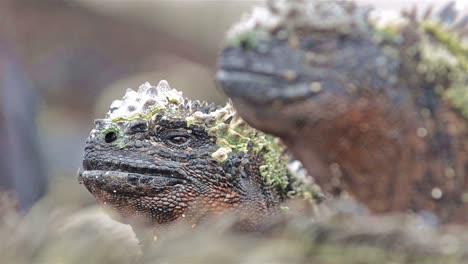 Cerca-Del-Ojo-De-La-Iguana-Marina-En-Punta-Suarez-En-Espanola-En-El-Parque-Nacional-De-Las-Islas-Galápagos