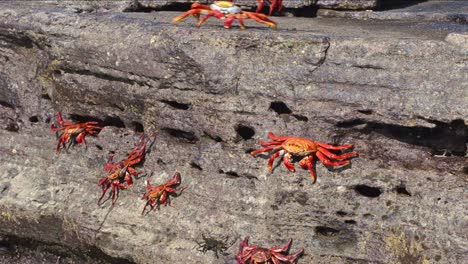 Sally-Lightfoot-Crabs-at-Puerto-Egas-on-Santiago-Island-in-the-Galapagos-Islands-National-Park-and-Marine-Reserve-Ecuador