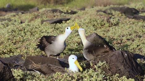 Un-Par-De-Albatros-Ondeando-En-Círculos-Durante-Un-Ritual-De-Cortejo-Y-Se-Limita-A-La-Reproducción-En-Punta-Suarez-En-Las-Islas-Galápagos-Española-