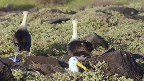 A-pair-of-Waved-albatross-billcircling-during-a-courtship-ritual-and-is-limited-to-breeding-at-Punta-Suarez-on-Espanola-Galapagos-Islands-1