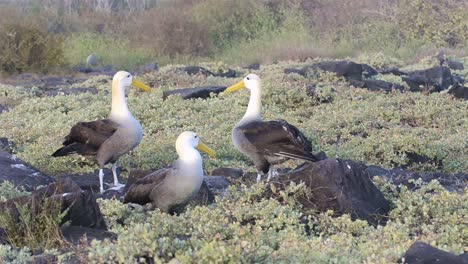 A-pair-of-Waved-albatross-billcircling-during-a-courtship-ritual-and-is-limited-to-breeding-at-Punta-Suarez-on-Espanola-Galapagos-Islands