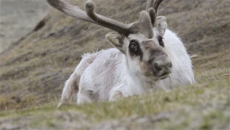 Svalbard-Reindeer-resting-on-the-tundra-in-Longyearbyen-on-Spitsbergen-in-the-Svalbard-archipelago-Norway