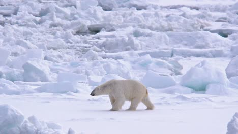 Polar-bear-walking-on-sea-ice-near-Torelleneset-on-the-east-side-of-Hinlopen-Strait-on-Nordaustlandet-in-Svalbard-archipelago-Norway