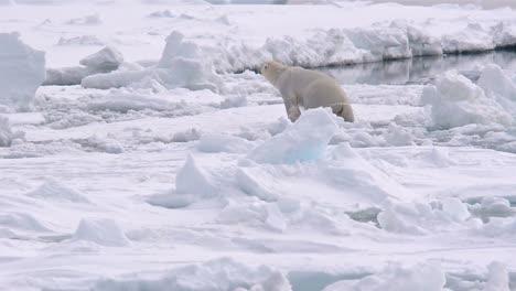 Eisbär-Klettert-Aus-Dem-Wasser-Auf-Meereis-In-Der-Nähe-Von-Torrelleneset-In-Spitzbergen-Norwegen