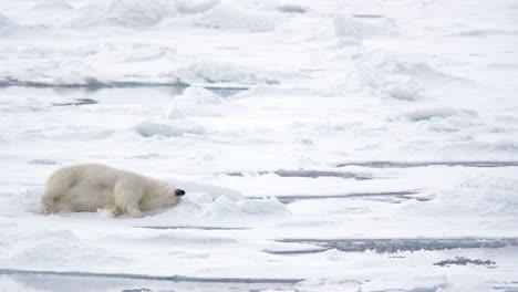 Polar-bear-rolling-in-the-snow-near-Torelleneset-on-the-east-side-of-Hinlopen-Strait-on-Nordaustlandet-in-Svalbard-archipelago-Norway