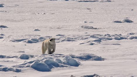 Polar-bear-approaching-a-ship-from-the-sea-ice-near-Bjornsundet-in-the-Svalbard-archipelago-Norway