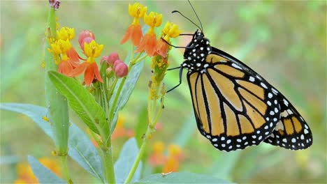 Monarch-butterfly-Danaus-plexippus-stretching-its-wings-on-Scarlet-Milkweed-within-it-first-hour-of-life-in-Oak-View-California